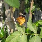 ツマグロヒョウモン 生物の環境適応